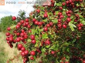 When to collect hawthorn